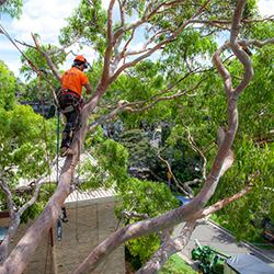 Tree pruning Oatley