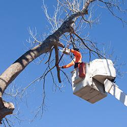 Tree lopping Holsworthy
