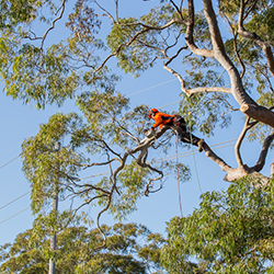 Tree lopping Sutherland Shire